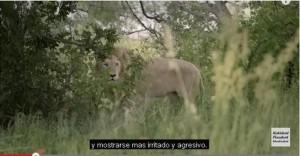 El león sin colmillos 2