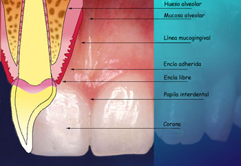 alcohol tejidos periodontales