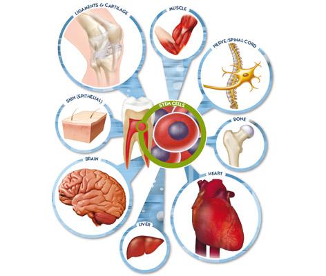 celulas madres - odontologia 1